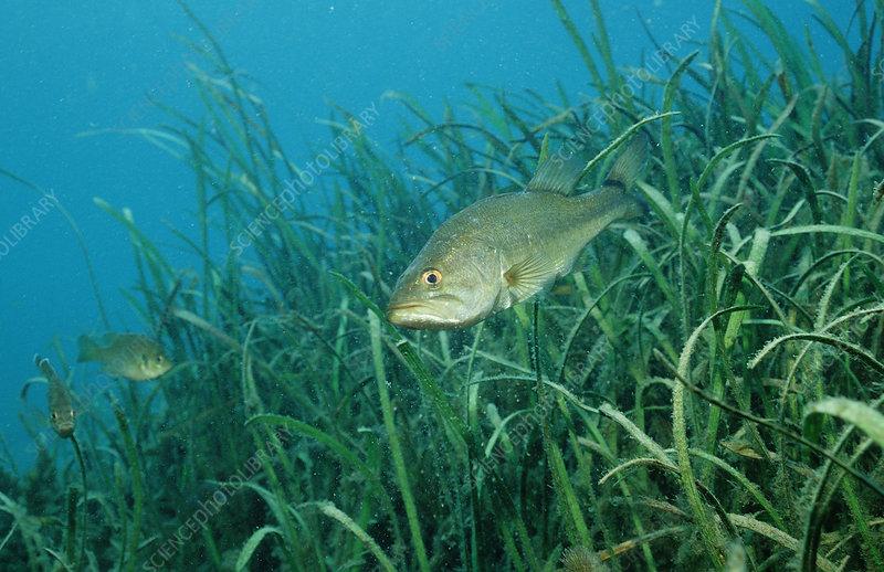 Largemouth Bass (Micropterus salmoides),