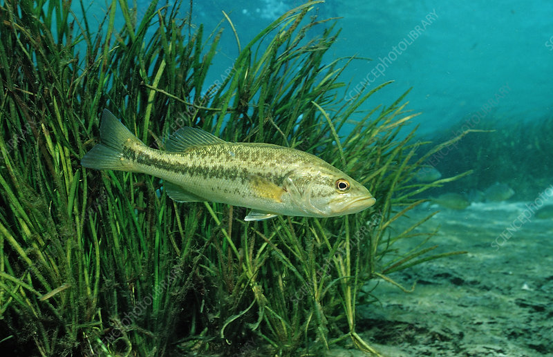 Largemouth Bass,(Micropterus salmoides)