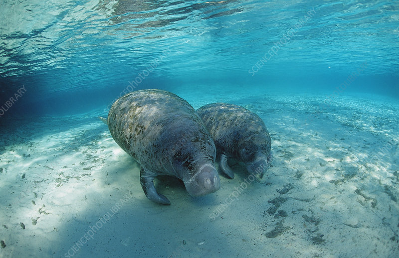 West Indian Manatee, Mother and calf