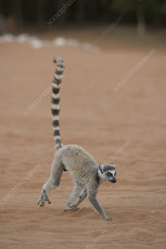 Ring-tailed Lemur running