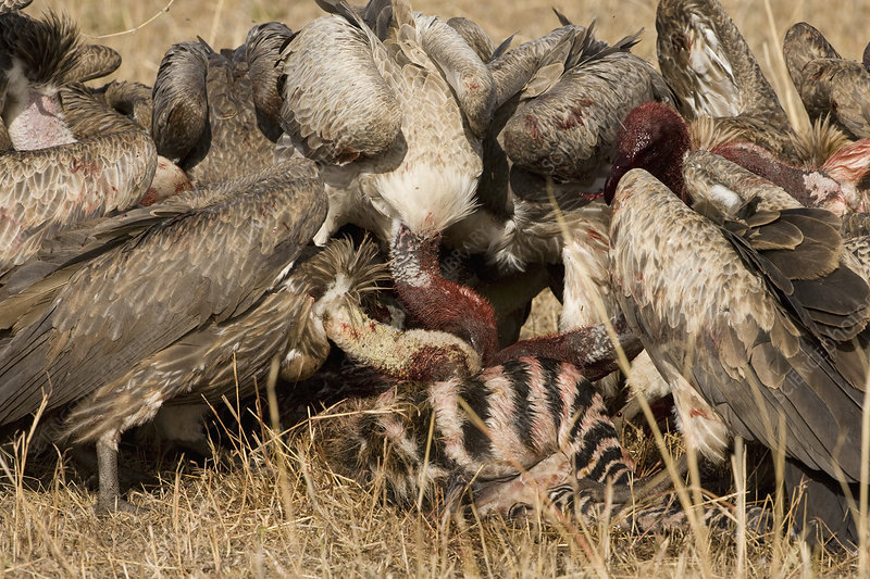 White-backed Vultures scavenging