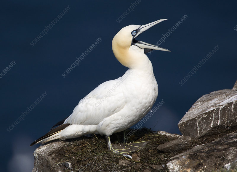 Northern Gannet calling (Morus bassanus)