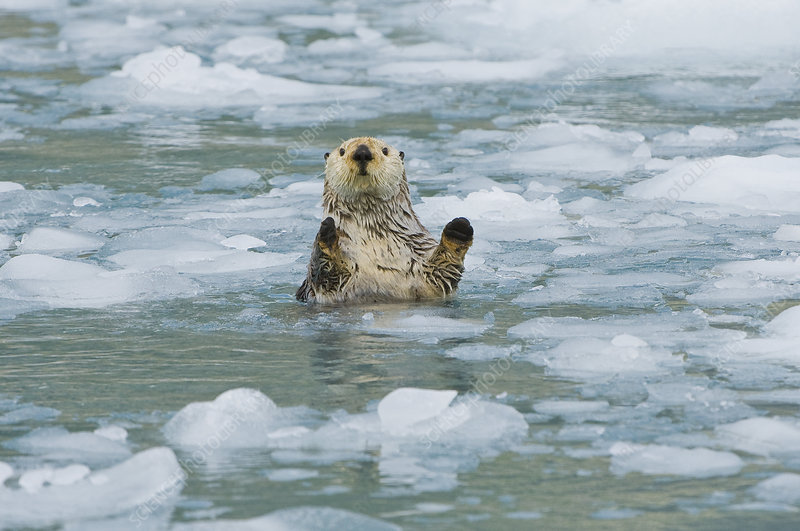 Sea Otter in icy water (Enhydra lutris)