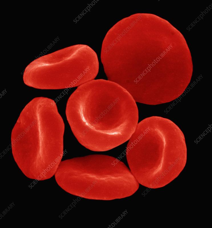 Red blood cells or erythrocytes. SEM