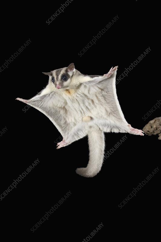 Sugar Glider marsupial mammal gliding