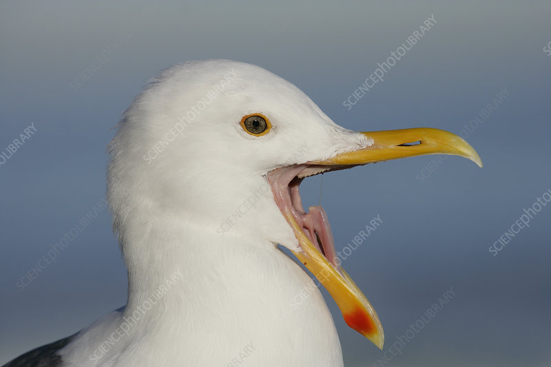 Western Gull with its bill open wide