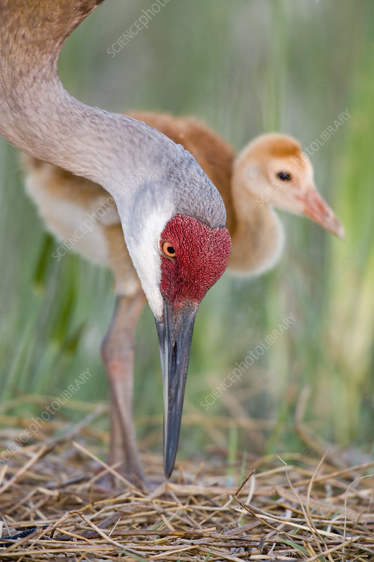 Sandhill Crane adult and chick at nest