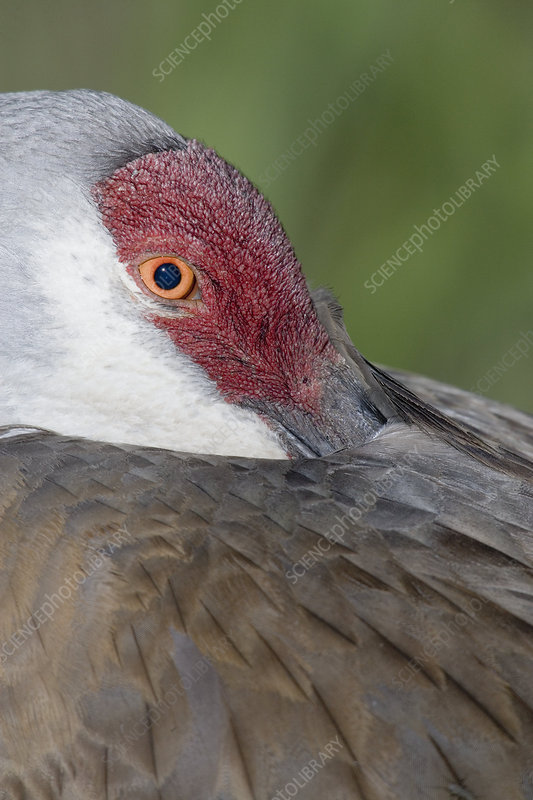 Sandhill Crane with bill in feathers