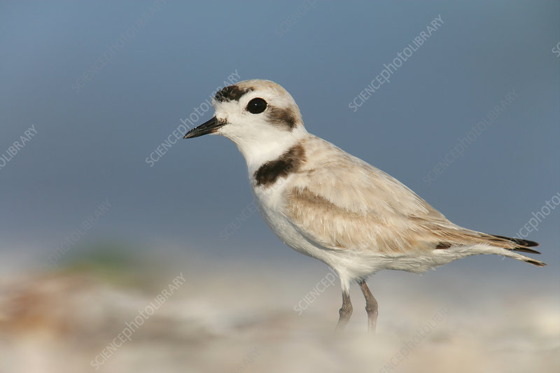 Snowy Plover male