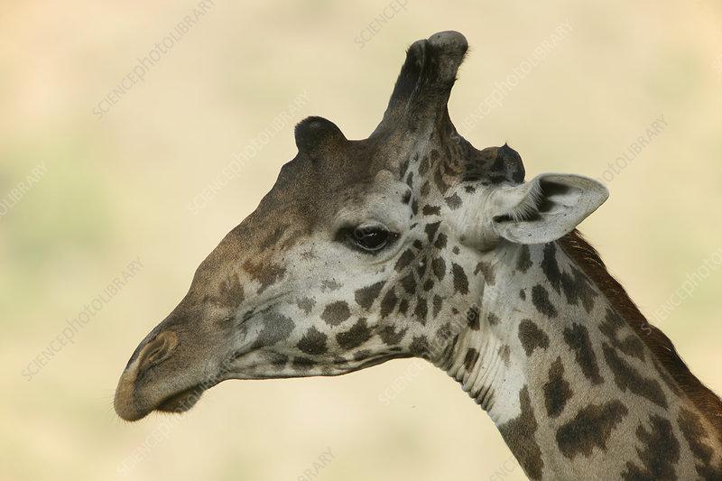 Maasai Giraffe head, Lake Manyara, Africa