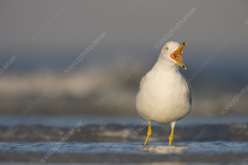 Ring-billed Gull calling in the surf