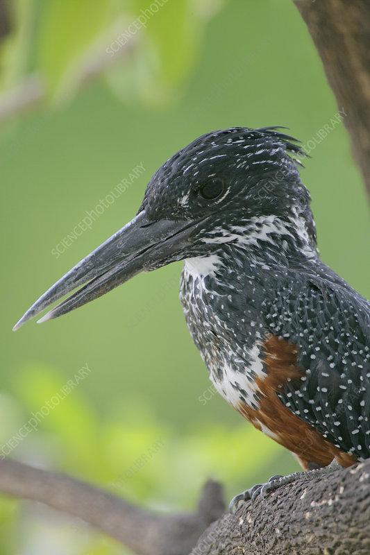 Giant Kingfisher (Megaceryle maxima) head
