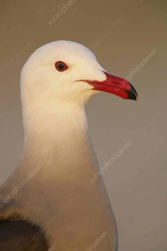 Heermann's Gull head in breeding plumage