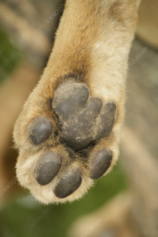 Close-up of an African Lion's paw