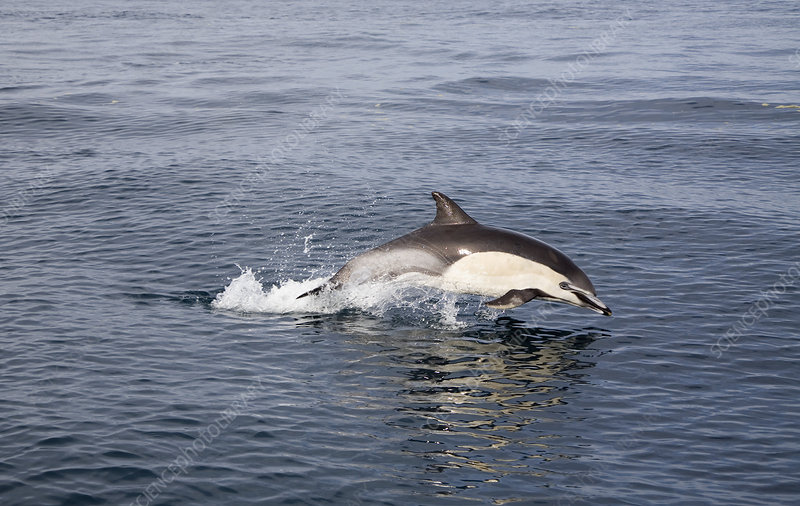Common Long-beaked Dolphin leaping