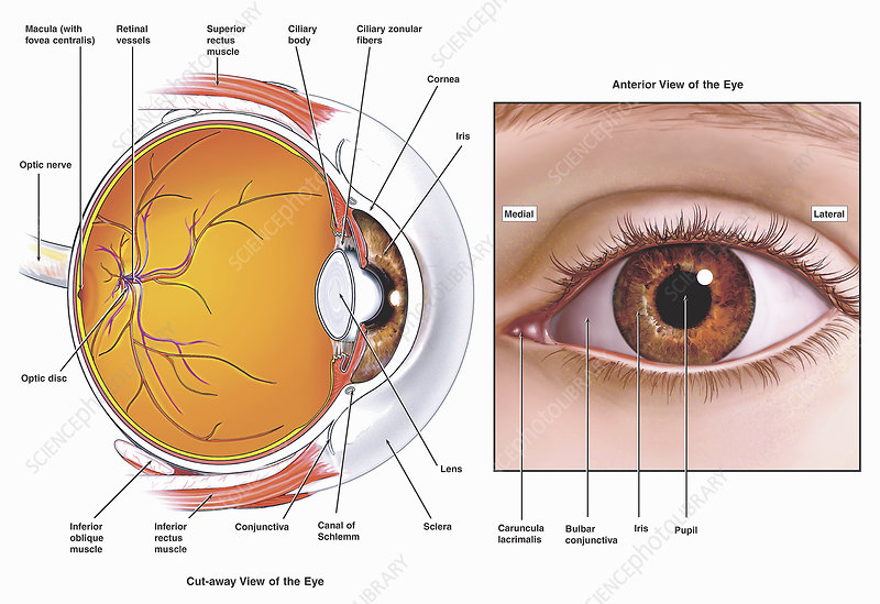 Illustrations of anatomy human eye