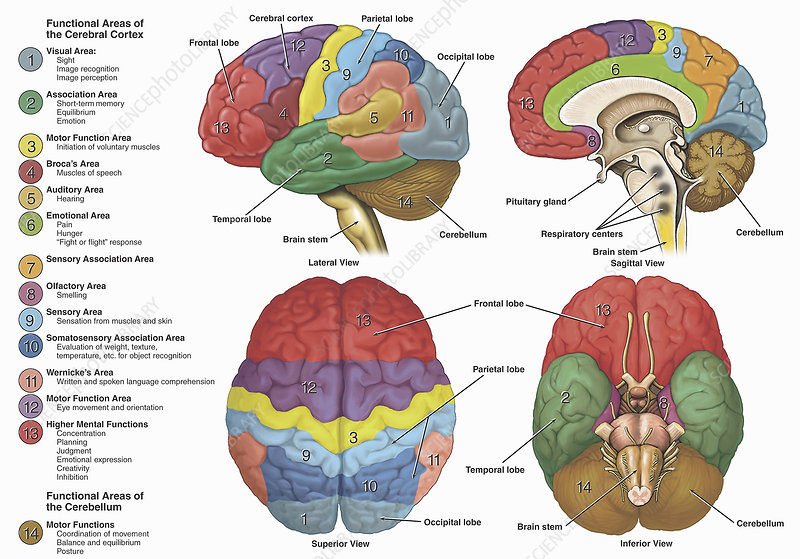 Brain from four different views