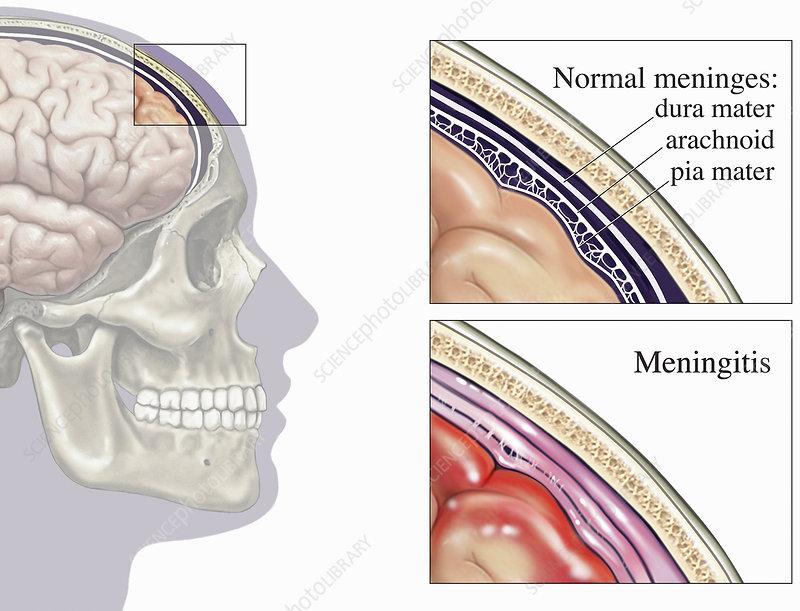 Illustrations of normal human meninges