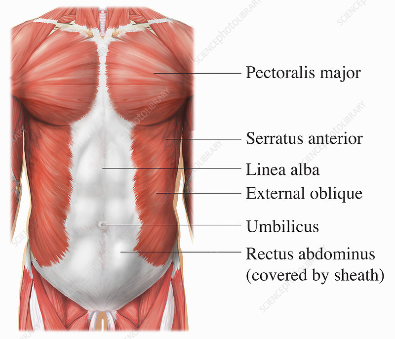 Illustration of the torso muscles