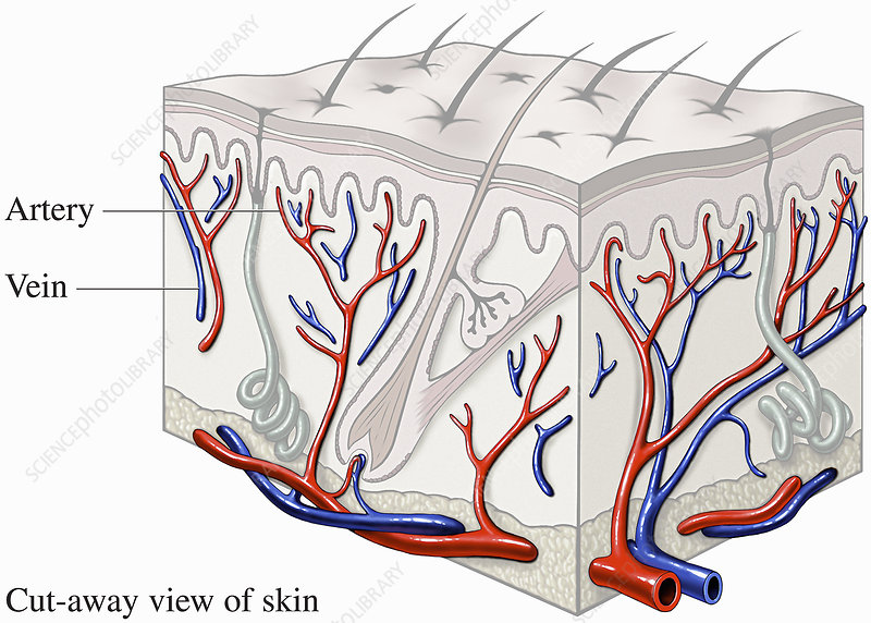 Illustration showing how blood flows