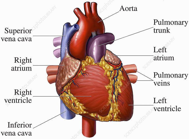 Illustration of heart anatomy