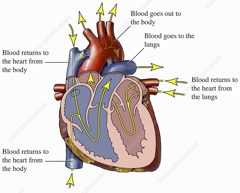 Illustration of heart and blood flow