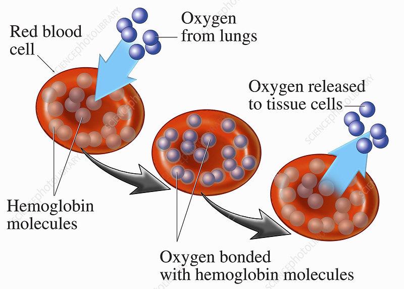 Medical illustration of red blood cells