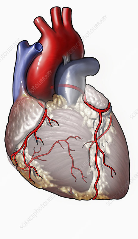 Illustration of parts of human heart
