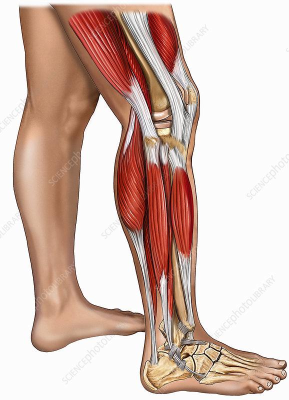 Illustration of leg muscles