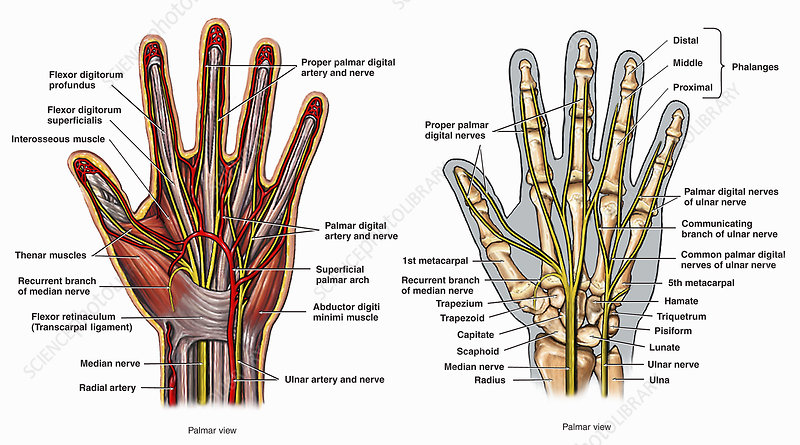 Illustrations palmar view anatomy hand