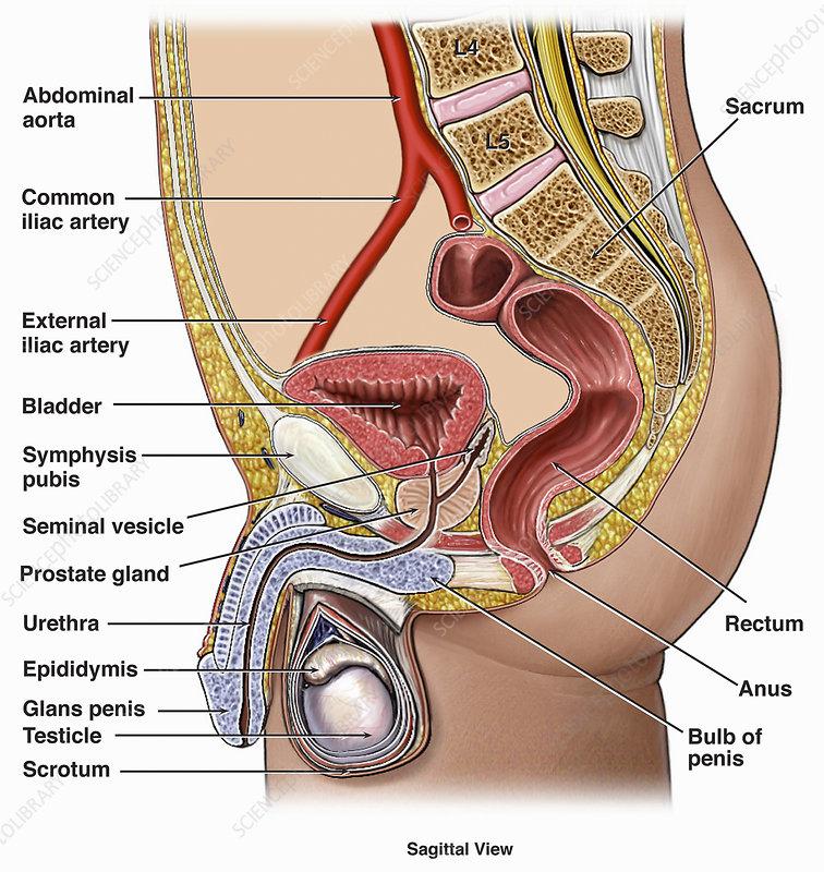 Illustration of anatomy urogenital system