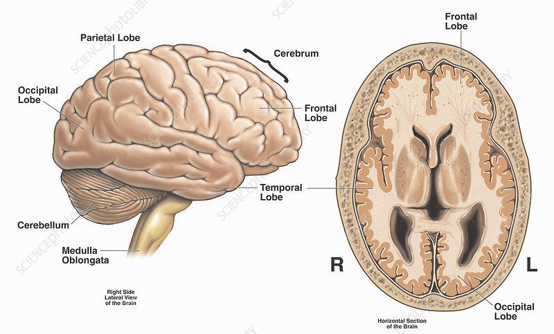 Primary anatomy of brain