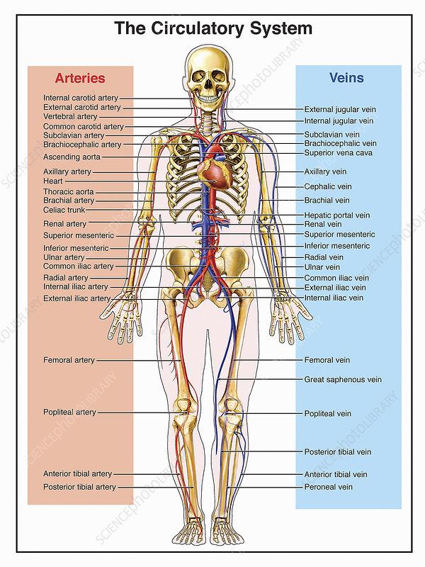 Illustration of the circulatory system