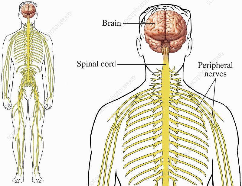 Illustration, human brain, spinal cord