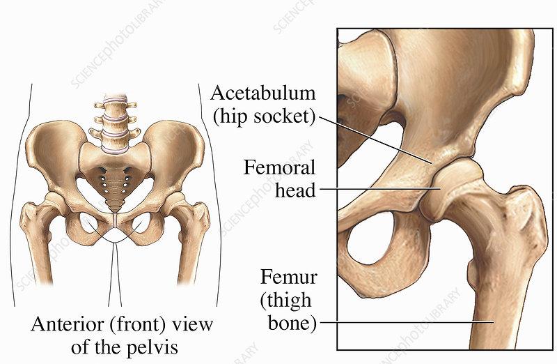 Illustration hip joint, bones of pelvis
