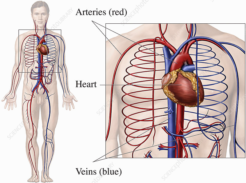 Illustrations of the circulatory system
