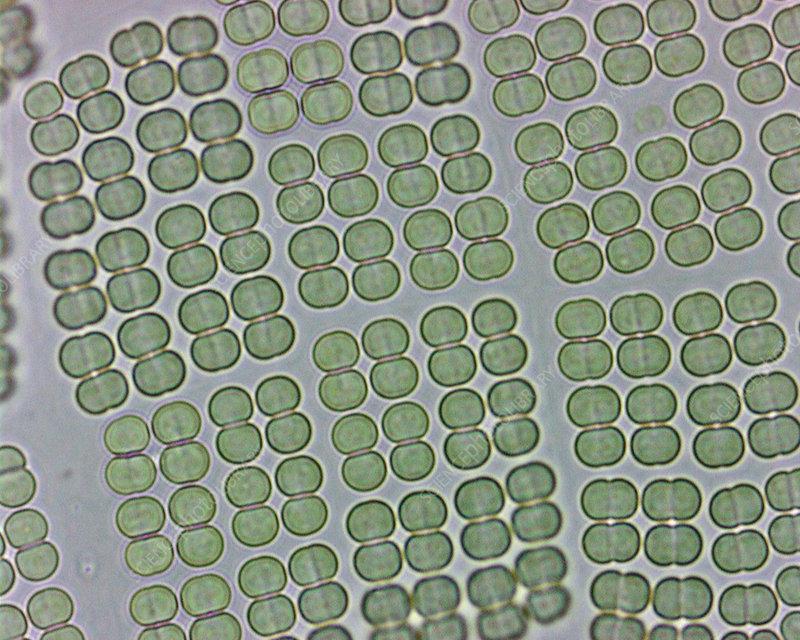 Merismopedia, colonial blue green algae