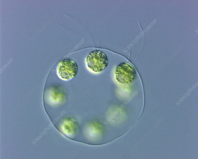 Stephanosphaera, motile green algae
