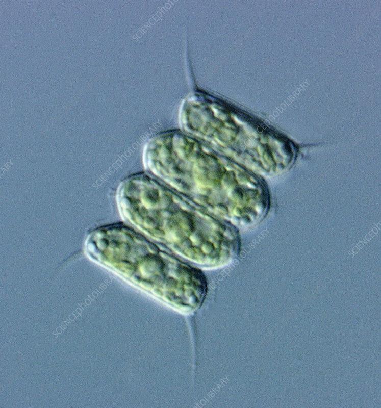 Green Algae Scenedesmus