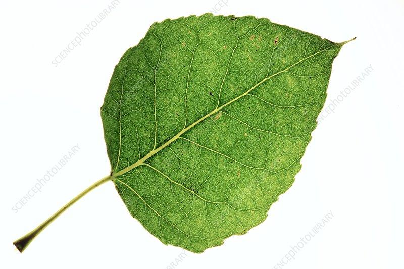 Populus x canadensis leaf