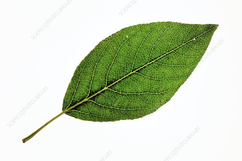 Populus laurifolia leaf