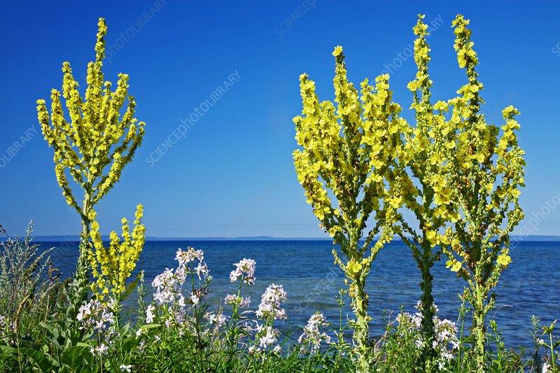 Lake-side flowers