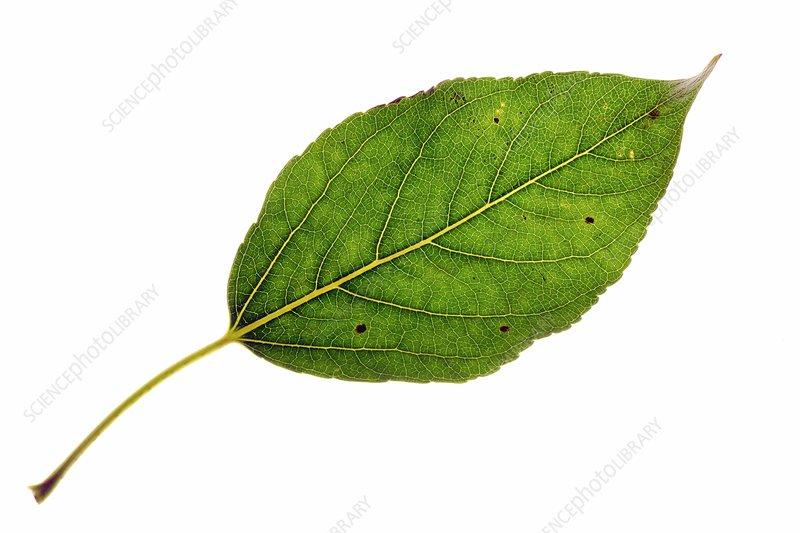 Populus balsamifera Tristis leaf