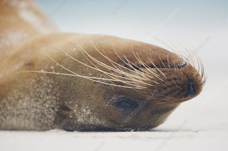 Galapagos Sea Lion head upside resting
