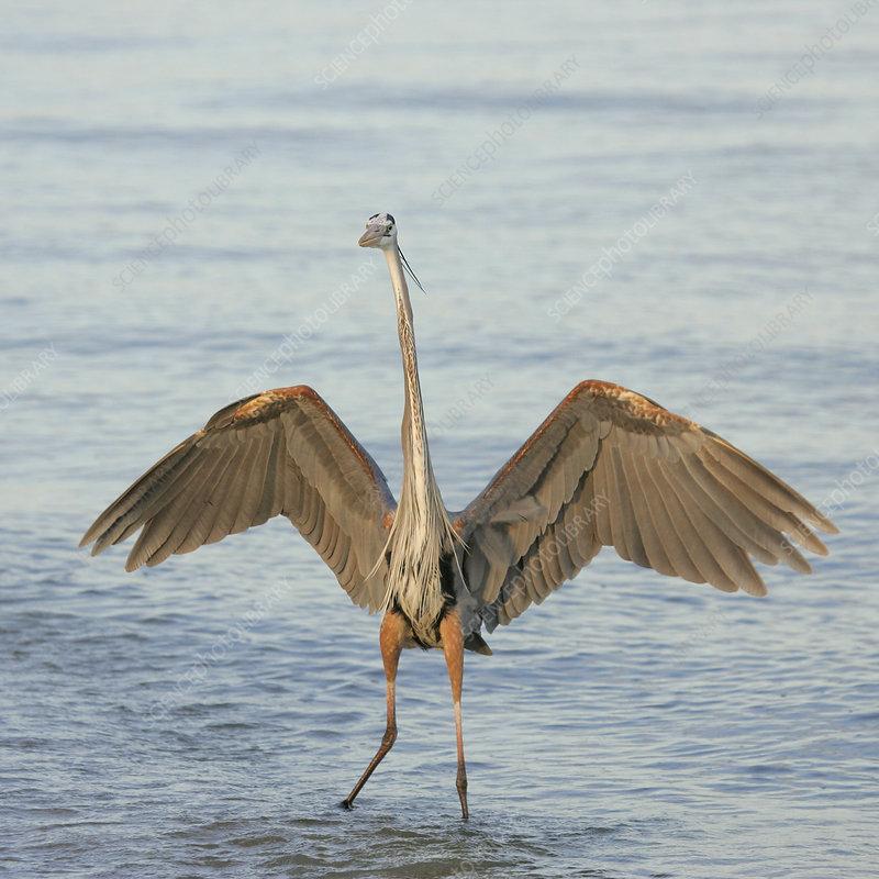 Great Blue Heron wading, wings spread
