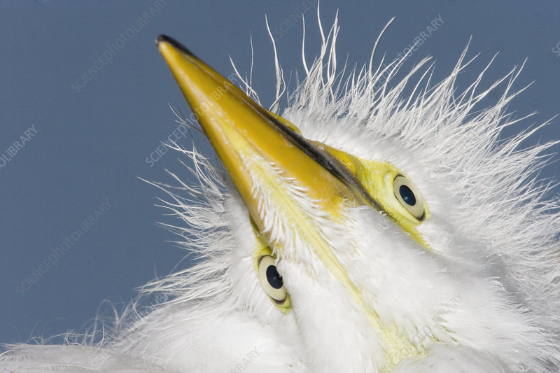 Close-up of a Great Egret chick head