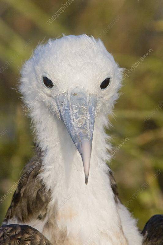 Great Frigatebird large chick