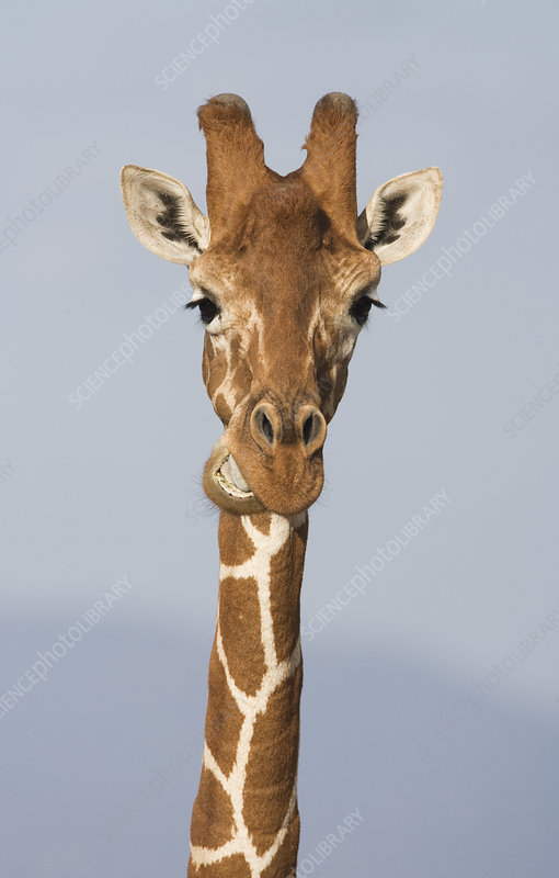 Reticulated Giraffe chewing