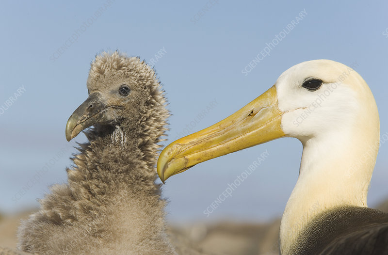 Waved Albatross chick and mother
