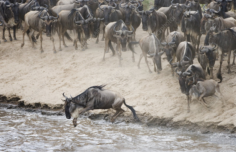 Wildebeests jumping into the Mara River